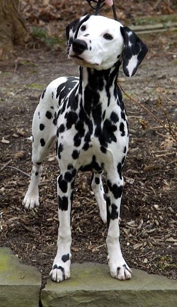 Staff Cross Dalmation